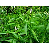 Plant House Live Green Chiretta-Andrographis paniculata Medicinal Plant with POT