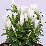 lichtnelke - Japanischer Enzian (Gentiana makinoi) White Magic®