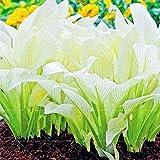 Pinkdose 200 pz bonsai belle piante di hosta perenni giglio fiore ombra hosta fiore erba bonsai piante ornamentali in vaso giardino di casa: 3