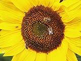 Sonnenblumen und Bienen fotografieren.