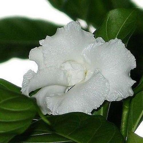 50 Samen Gardenia Cape Jasmine Bush Seeds (Gardenie)