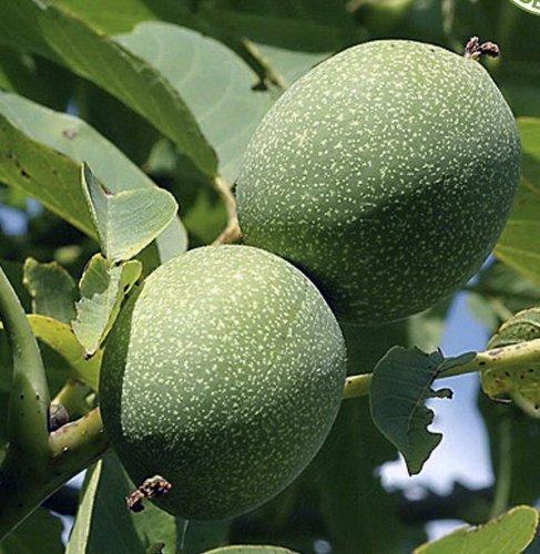 Tree Seeds Online - Juglans Regia. Inglés Nogal. 3 Grande Semillas - Paquete con 5