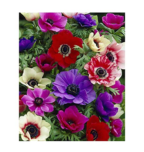 8x Anemone coronaria De Caen Kronen Anemone Garten Blume Samen #390 (Blume Kronen)