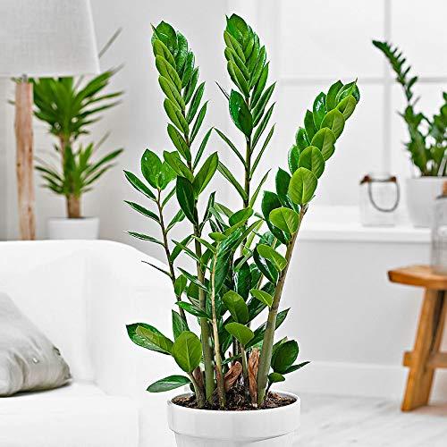 Glücksfeder  <strong>Ausführung</strong>   Grünpflanze
