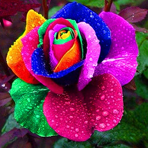 Bloom Green Co. Genuine!200 pcs/pack Rainbow Rose Flower plant Holland Rose bonsai Lover Gift RARE exotic 24 Colors To Choose DIY for home garde: 6
