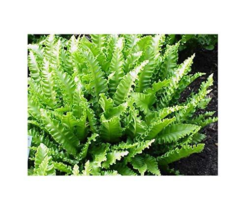 1x Frisch Hirschzungenfarn(PhyllitisScolopendrium) Athyrium Garten Pflanze K-P399