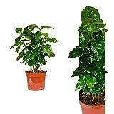Inter Flower -Coffea arabica 30 cm +/- Kaffeepflanze, Kaffee selbst anbauen, für Kaffeetrinker und Kaffeeliebhaber, pflegeleicht - daher super geeignet als Geschenk oder Spaß im Büro oder zu Hause, für Anfänger, Kaffeebohnen, eigener Kaffee Set
