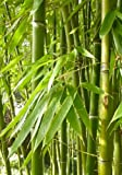TROPICA - Smaragdbambus (Phyllostachys viridiglaucescens) - 15 Samen-Winterhart - immergrün