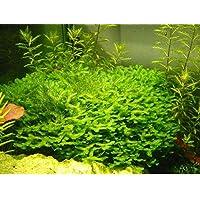 Pinkdose Hot Java Pellia Fish Tank acuática Para Peces Vivos musgo Helecho acuario paisaje de la decoración de la planta del ornamento 1000 PC/bolsa
