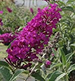 Zwerg-Schmetterlingsflieder buzz Pink Purple - Buddleja buzz Pink Purple (60-80)