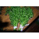 Biotope Aquatics Ltd - 50 Live Aquarium Plants Tropical Aquatic Plants for your fish tank - rooted and stems 17