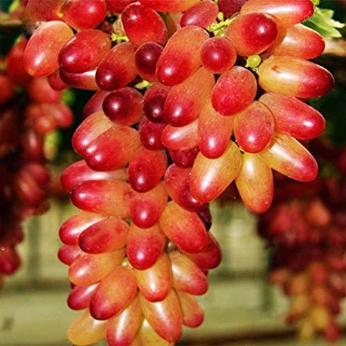 AIMADO Samen-Rarität 50 Stück süßen Trauben Samen Kollektion Saatgut Sommer bio Obst kernlos Winterhart mehrjährig,Pflegeaufwand gering -