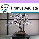 SAFLAX - Bonsai - Japanische Blütenkirsche - 30 Samen - Prunus serulata
