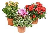 Zimmerpflanzen Blühpflanzen Mix nach Ihren Wünschen (3er-Mix)
