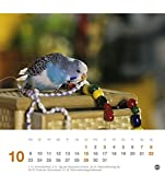 Freche Wellensittiche Postkartenkalender – Kalender 2017 - 11