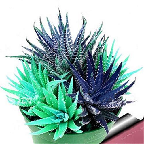 Bloom Green Co. Nouveau! 100 Pcs coloré Cactus Rebutia Variété Mix Exotique Floraison Cacti Rare Cactus Aloe Bureau Bonsai Plant Mini: 6 Succulent