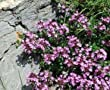 Creeping Thyme / Thymus serpyllum / 500 Seeds