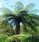 Cyathea medullaris - schwarzer Baumfarn - 10 Samen