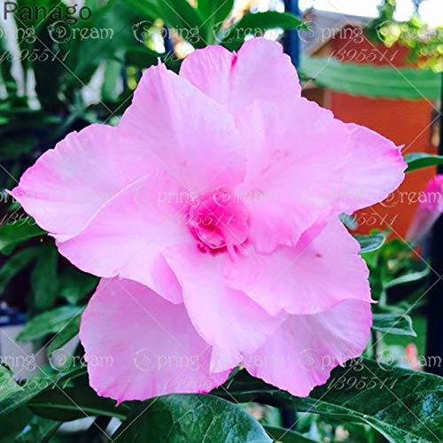 Pinkdose 2pcs Fiore rosa del deserto vero Adenium obesum bonsai fiore pianta piante grasse perenni piante in vaso al coperto per il giardino di casa: 8