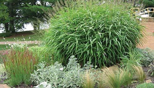 Spodiopogon Sibiricus 1 Liter