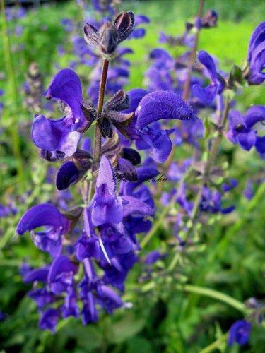 Staudenkulturen Wauschkuhn Salvia pratensis 'Twilight Serenade' - Wiesensalbei - Staude im 9cm Topf