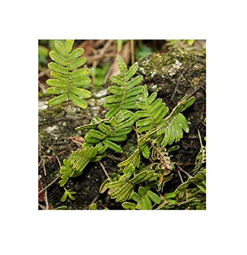 10x Polypodium thyssanolepis Samen Tüpfelfarn B2237