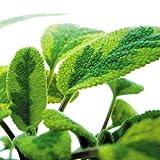 Bio Goldsalbei Kräuterpflanze