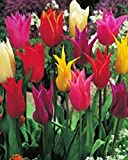 50 Gemischte Lilienblütige Tulpenzwiebeln Blumenzwiebeln Tulpen