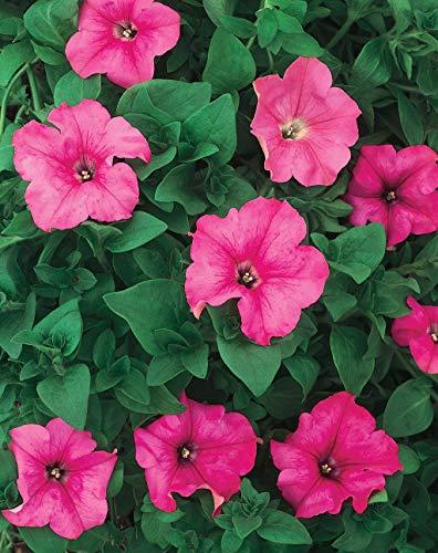 BloomGreen Co. Graines de fleurs: Petunia Double mixte Rose Convient pour les sacs de culture/Pots/Conteneurs Jardin [jardin Graines Eco Pack] Graines de plantes