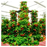 100pcs / confezione gigante di fragola fragola scalare big red piante semi a casa garden