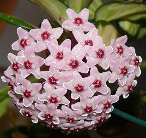 hoya carnosa tricolor fiore di cera vaso 11 cm perenni