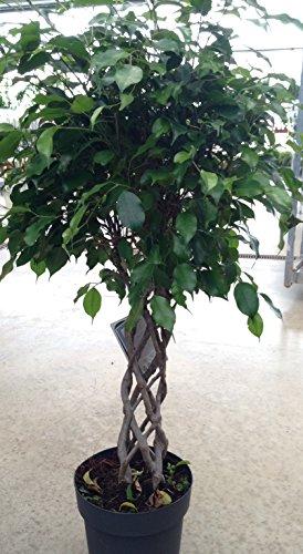 Ficus Benjamina tronc tressé, plante d'intérieur rare et originale pour la maison ou le bureau hauteur 80/100 cm.