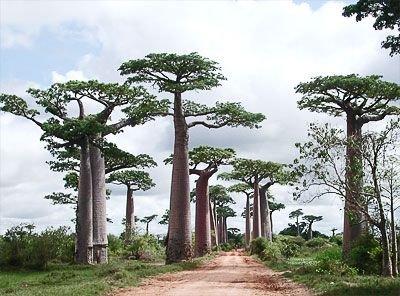 adansonia-perrieri-affenbrotbaum-von-perrier-baobab-15-samen