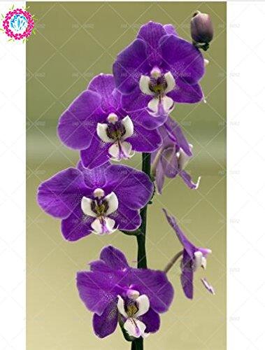 100pcs 20 couleurs d'orchidées rares Cymbidium, graines de Cymbidiums africaines, graines de fleurs bonsaï Phalaenopsis, plante pour le jardin de la maison en pot 15