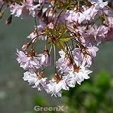 Hochstamm Fuji-Kirsche February Pink 60-80cm - Prunus incisa