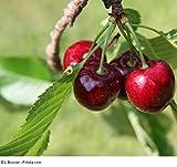 Süßkirsche 'Sunburst' -(Prunus 'Sunburst')- Containerware Busch 2 jährig