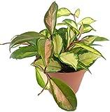 Hoya carnosa tricolor- wunderschöne hängende Zimmerpflanze ebenso Wachsblume oder Porzellanblume genannt - pflegeleichte Pflanze für das Wohnzimmer mit fantastischen Blüten