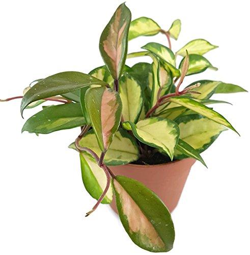 """Hoya carnosa""""tricolor""""- wunderschöne hängende Zimmerpflanze ebenso Wachsblume oder Porzellanblume genannt - pflegeleichte Pflanze für das Wohnzimmer mit fantastischen Blüten"""
