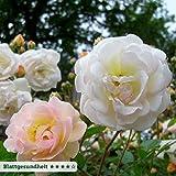Kölle's Beste Ramblerrose 'Ghislaine de Feligonde' (Premium) - zartlachsgelb blühende Topfrose, im 6 L Topf - frisch aus der Gärtnerei - Pfllanzen-Kölle Gartenrose
