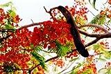 Seedeo Flammenbaum / Flamboyant - (Delonix regia) 6 Samen
