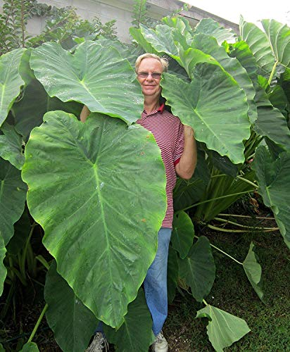 PLAT FIRM GERMINATIONSAMEN: 3 Jacks Giants Elefantenohr Zwiebeln - Große Pflanze zuhause oder draußen!