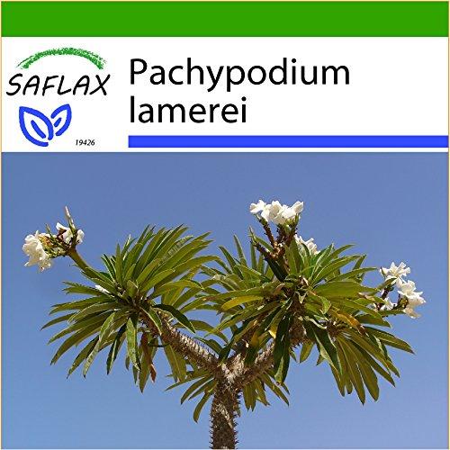 SAFLAX - Kakteen - Madagascar - Palme - 10 Samen - Mit Substrat - Pachypodium lamerei