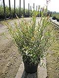 Purpur Weide - Salix purpurea - purple willow