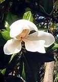 TROPICA - Magnolia sempreverde (Magnolia grandiflora) - 20 Semi- Mediterraneo