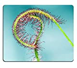 luxlady Gaming Mousepad-ID: 43728503 Beautiful Sonnentau Drosera Close Up auf blauem Hintergrund