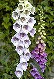 6 well grown foxglove plants