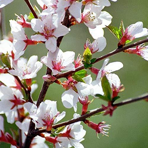 Prunus Tomentosa - Koreakirsche, Filzkirsche 25-30 cm Pflanzcontainer