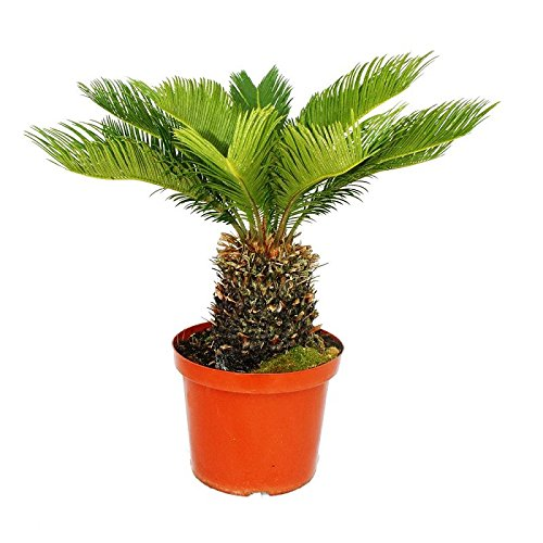 Cycas revoluta - Japanese Palm Fern - 20cm Pot