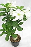 #6: Desert Rose Adenium Live Plant White Color (GRAFTED - LIVE PLANT) - BEE Garden Organic