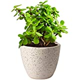 Rolling Nature Good Luck Jade Plant In Round Dew Ceramic Pot